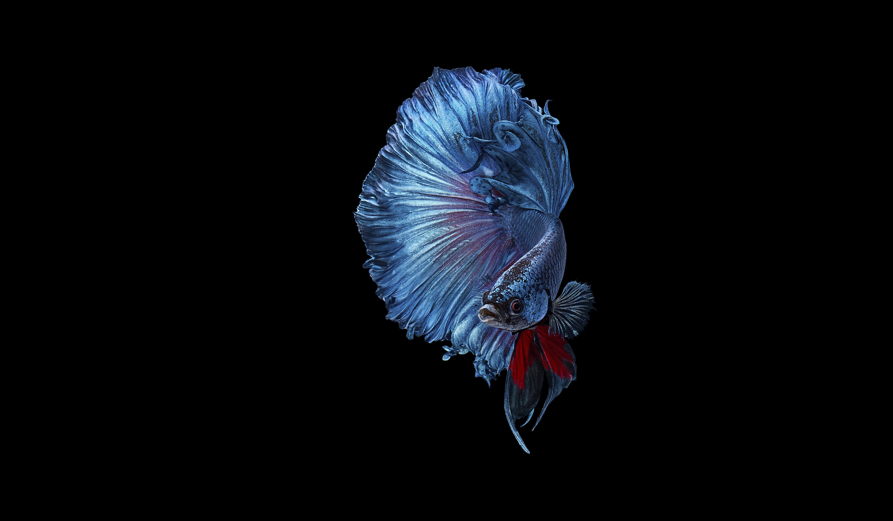 BetaFish_Blue_Web_Wide